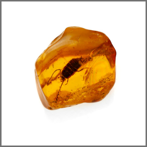 Cockroach in Baltic amber | Museum of Amber Inclusions UG